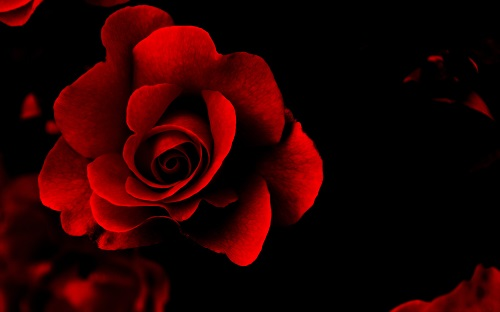 Photo of Write your name on a red rose